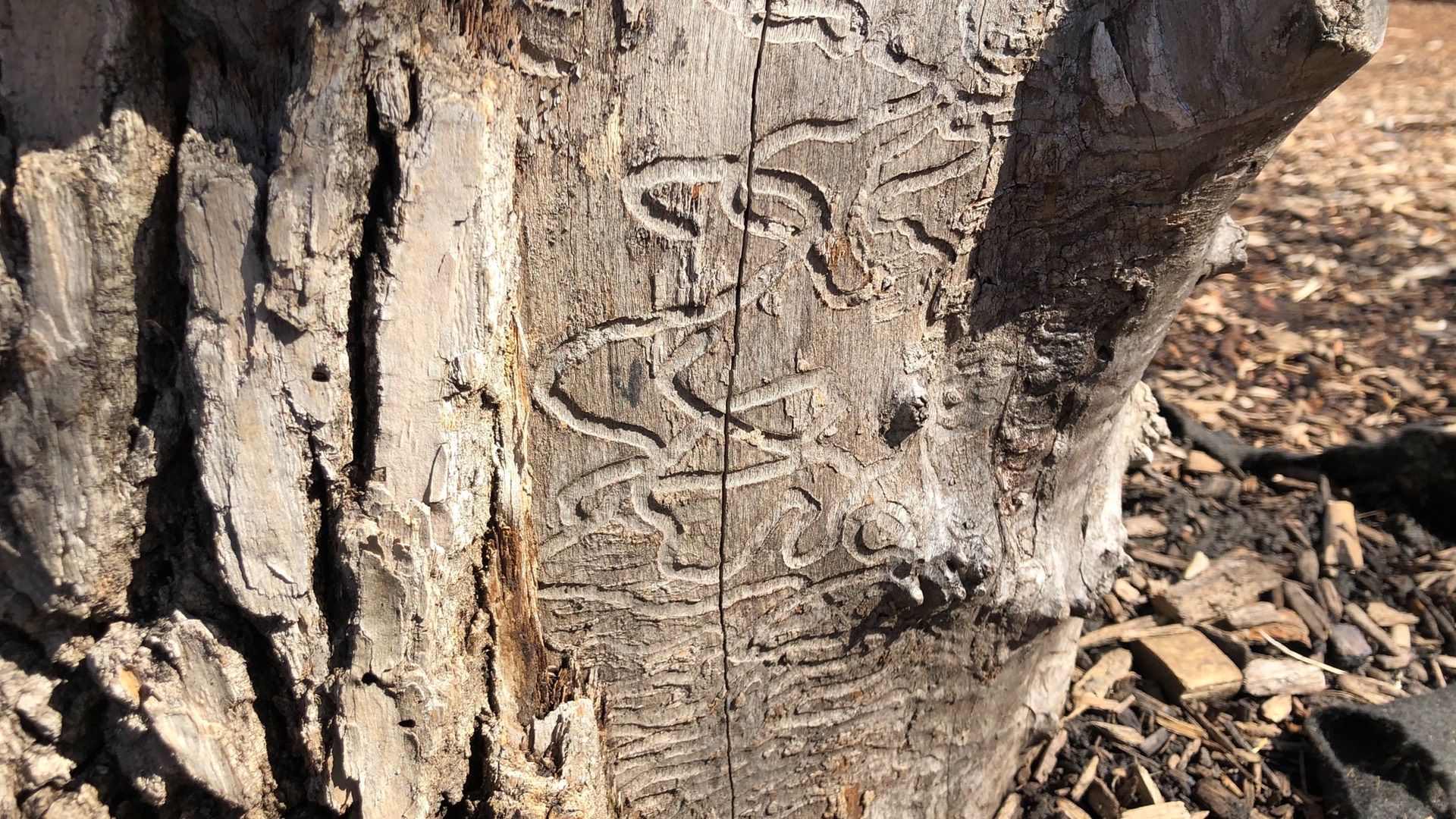 An ash tree stump, bearing the telltale signs of the destructive Emerald Ash Borer. (Patty Wetli / WTTW News)