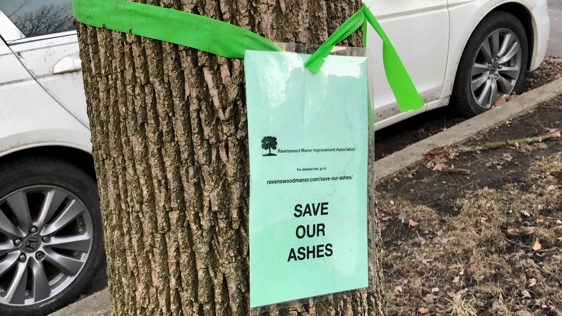 The City of Chicago has given up on treating parkway ash trees, so neighbors are taking it upon themselves. (Patty Wetli / WTTW News)