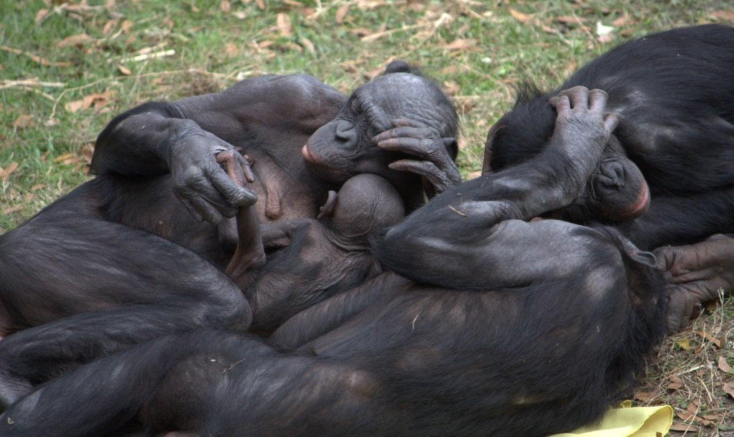 A group of bonobos hanging out; credit: LaggedOnUser [Flickr]