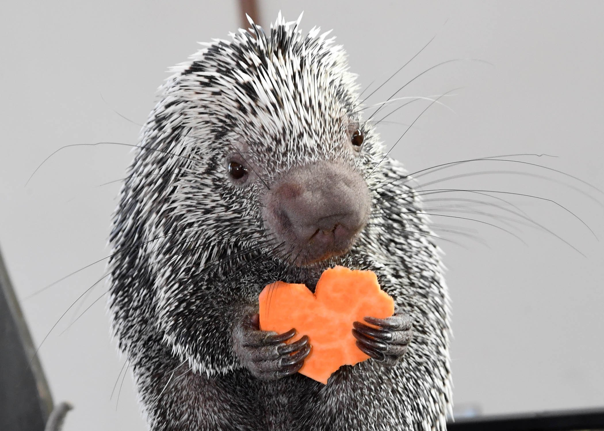 Quilbert the porcupine, clutching his sweet potato Valentine's treat. (Jim Schulz / Chicago Zoological Society)
