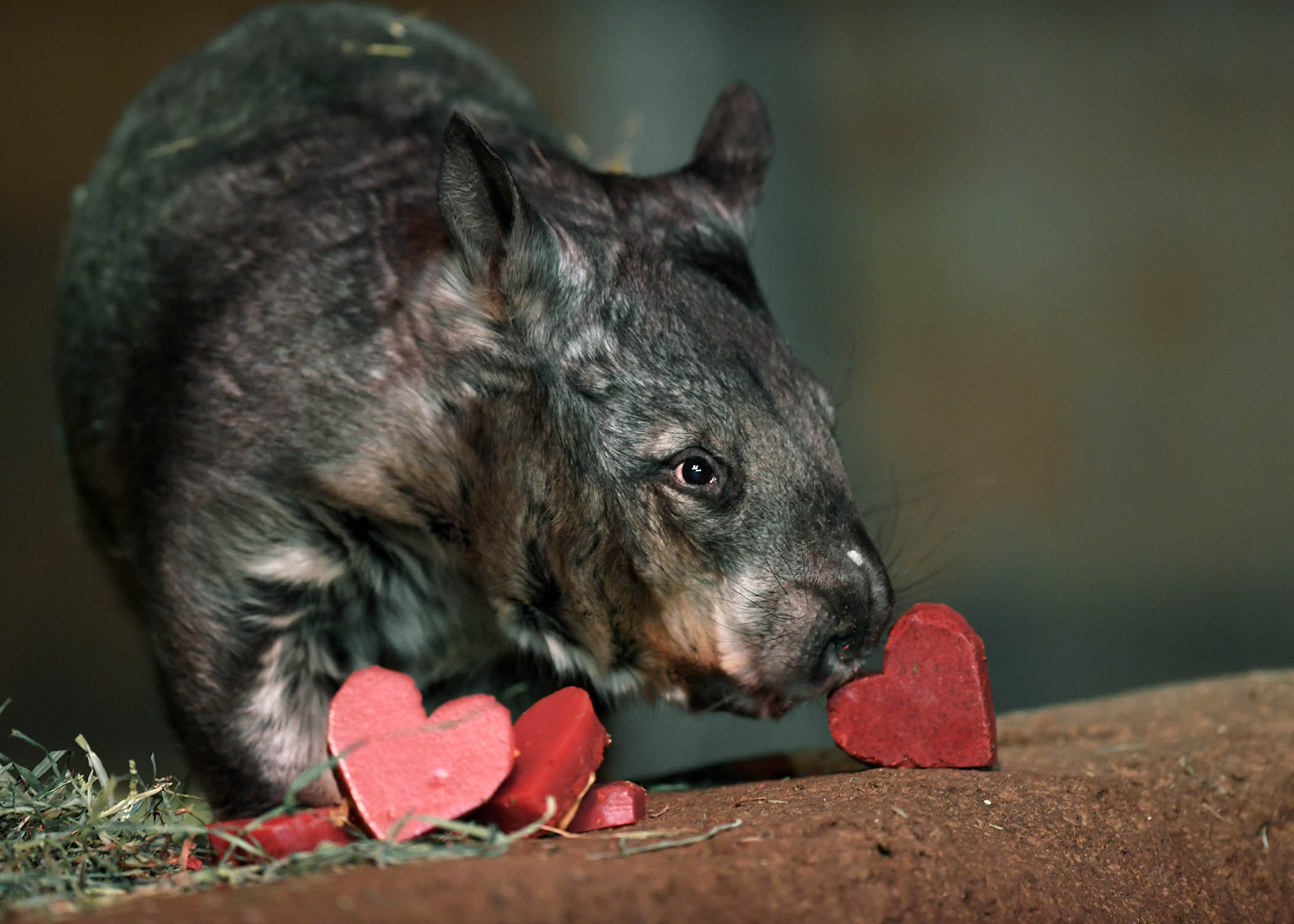 Kambora, a southern hairy-nosed wombat. (Jim Schulz / Chicago Zoological Society)