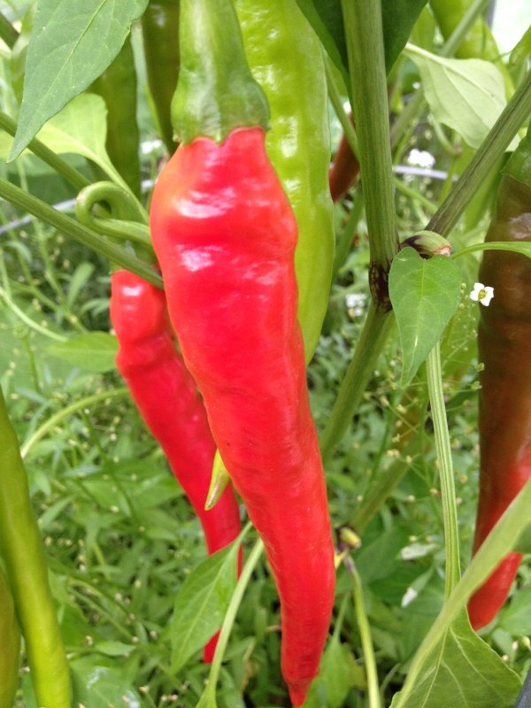 Hot cayenne peppers.