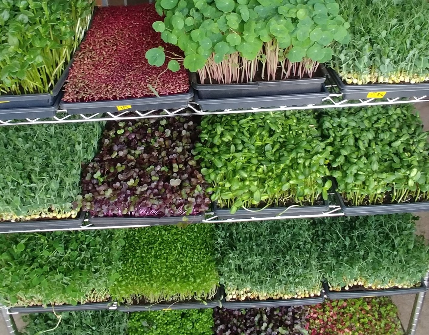 Closed Loop Farms specializes in microgreens, grown indoors. These are very young versions of vegetable plants, packed with nutrients. (Courtesy of Closed Loop Farms)