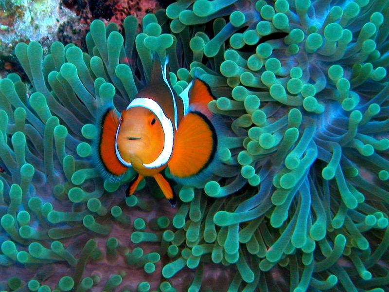 The ever-colorful clownfish; credit: Nemo's Great Uncle [Flickr]
