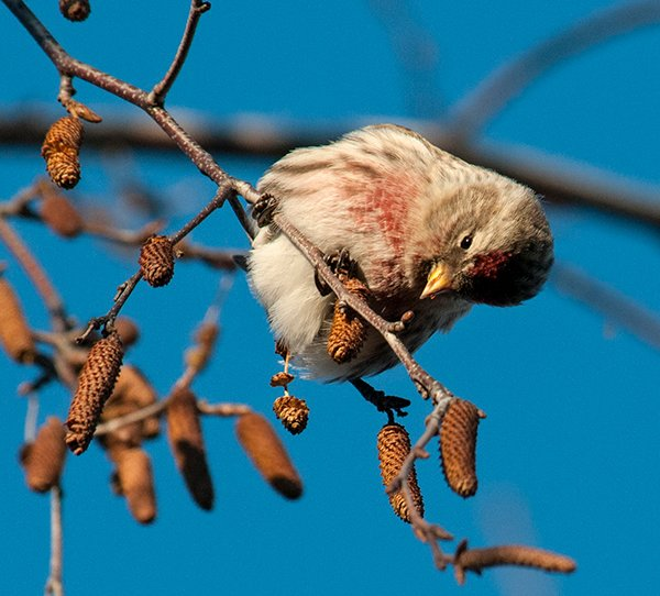 A common redpoll examines seeds from a birch tree at the Chicago Botanic Garden. (Carol Freeman / Chicago Botanic Garden)