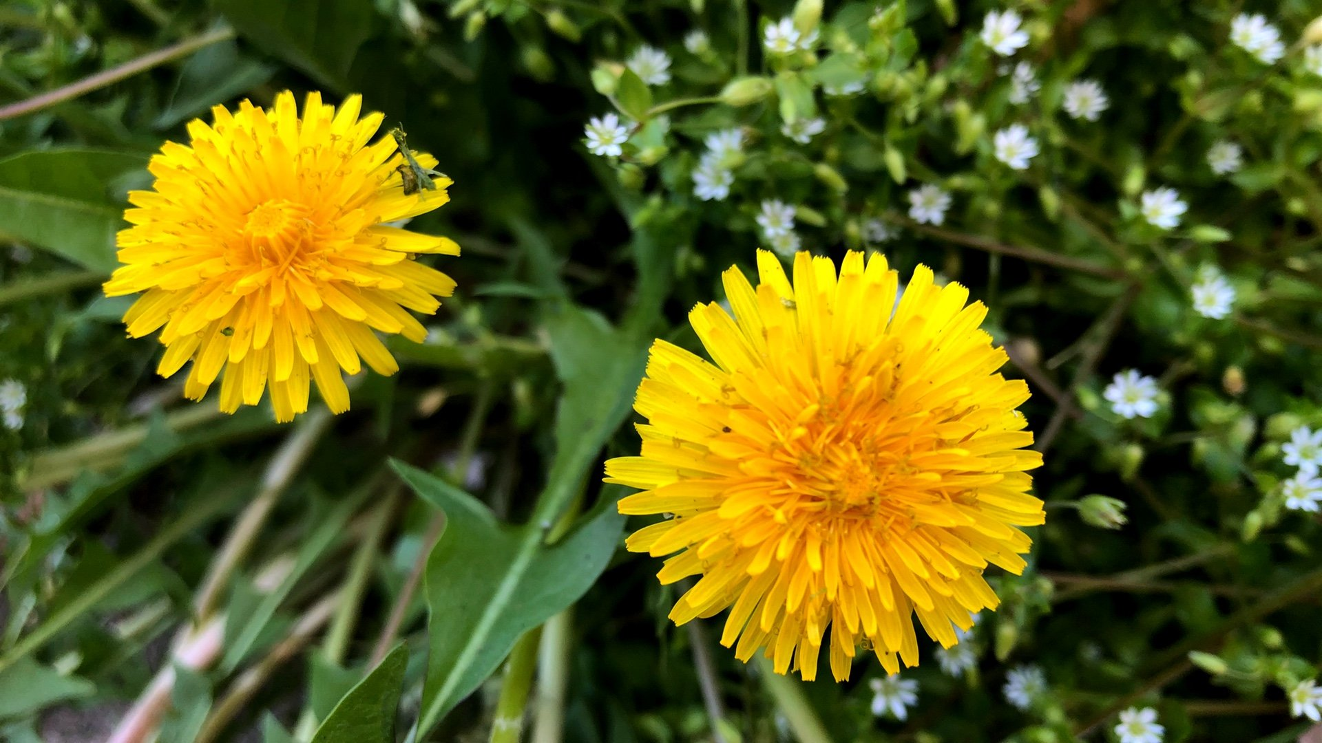 The Dandelion's Fall From Grace Has Been a Doozy. Can This Weed Become a  Flower Again? | Chicago News | WTTW