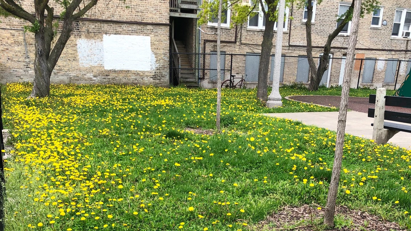The Park District stopped treating dandelions with pesticides years ago. (Patty Wetli / WTTW News)
