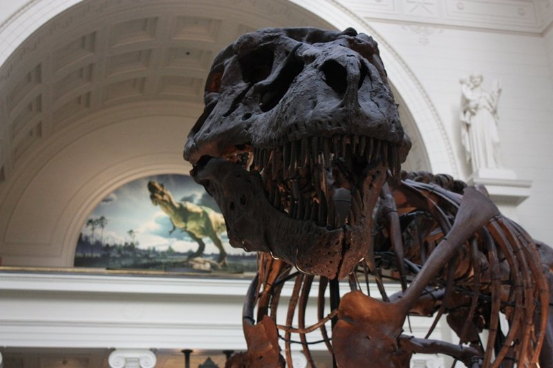 Sue the Tyrannosaurus Rex at Chicago's Field Museum (Chloe Riley)
