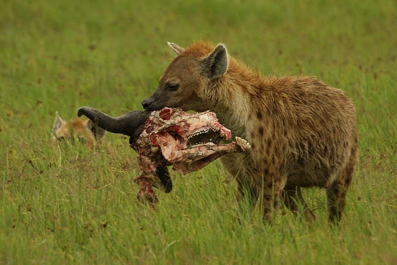 A female spotted hyena carrying the remnants of a meal; credit: Demetrius John Kessy