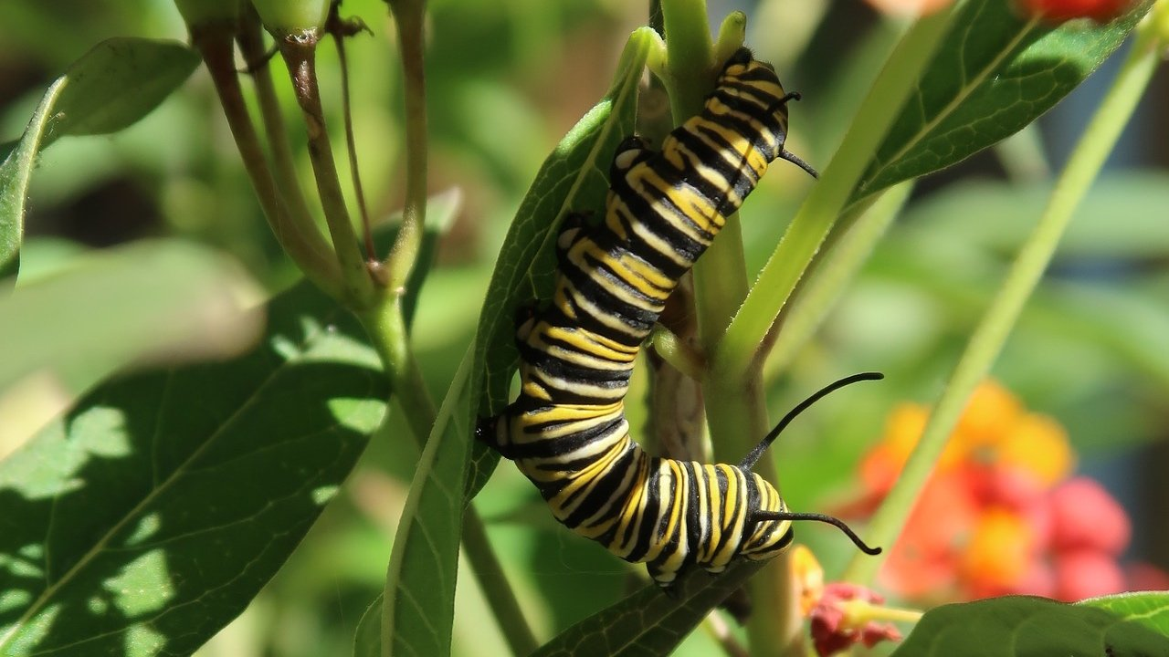 Chicagoans contribute to the monarch's life cycle by planting milkweed, the only source of food for monarch caterpillars. (Geneva Bell / Pixabay)