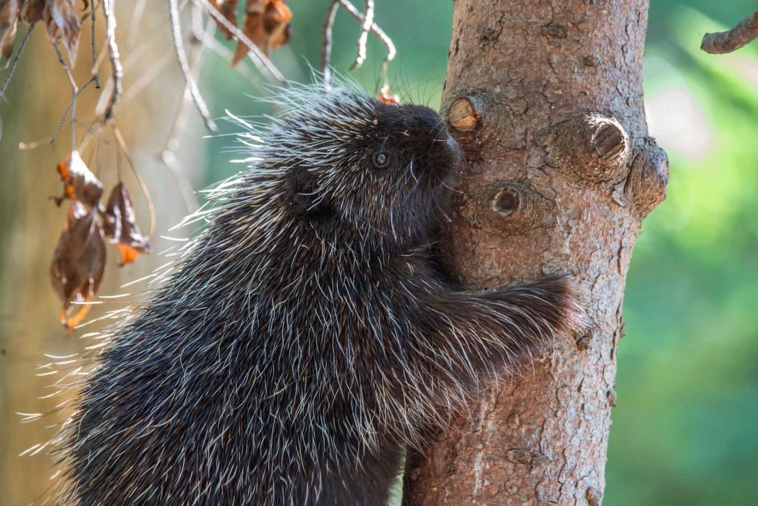 A female North American Porcupine; credit: Janice Sveda