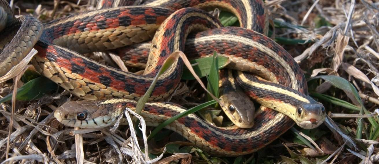 A small mating ball of red-sided garter snakes; credit: Chris Helzer