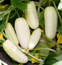 white-skinned cucumber