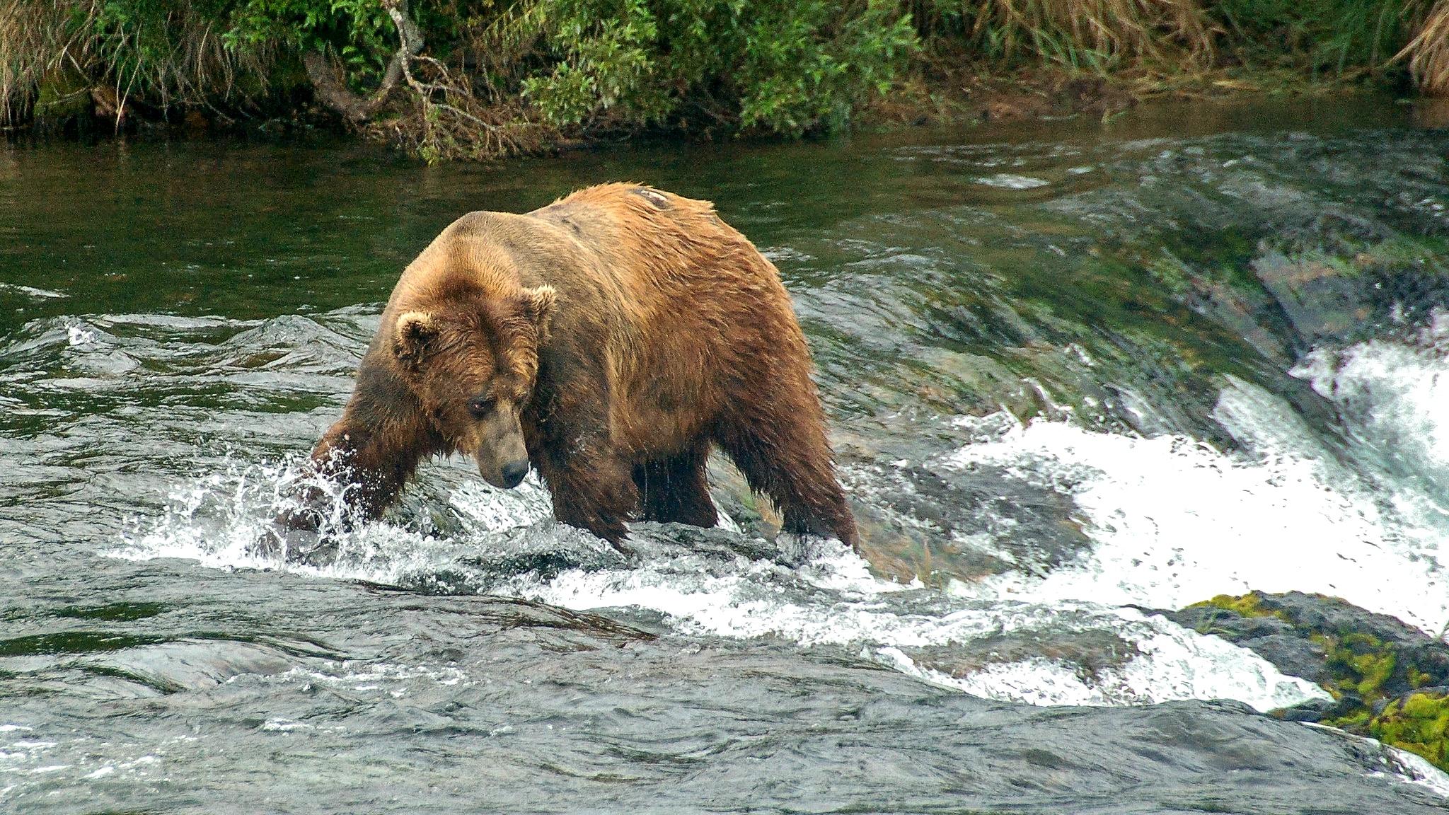 Grizzly bear, Brooks Falls, Katmai National Park, Alaska. (Terry Ott / Flickr)