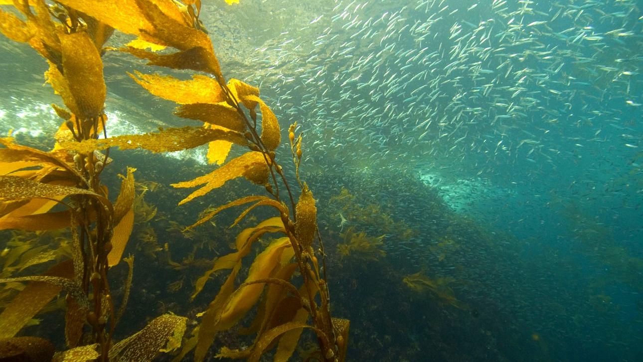 Kelp forest, Channel Islands. (NOAA's National Ocean Service / Flickr)