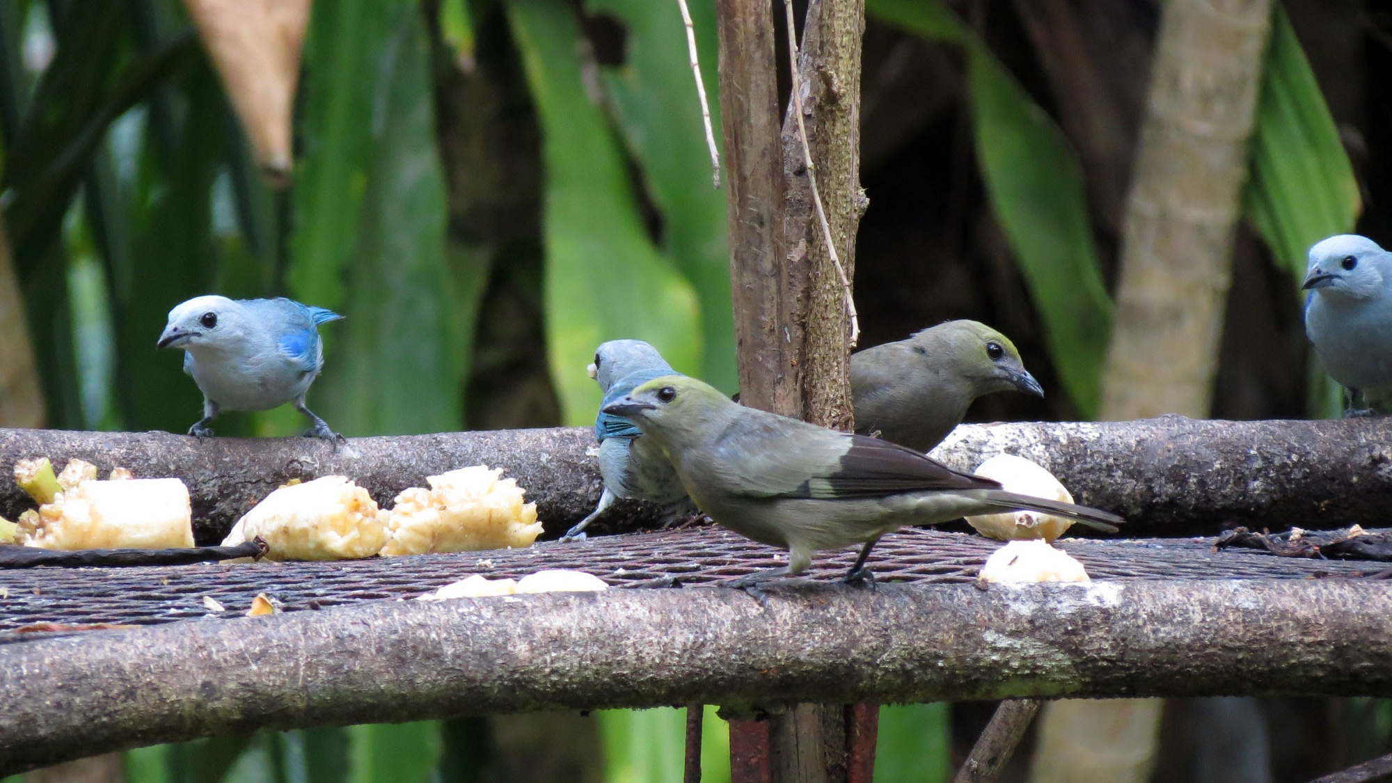 Tanagers at the Panama Fruit Feed. (Katja Schulz / Flickr)