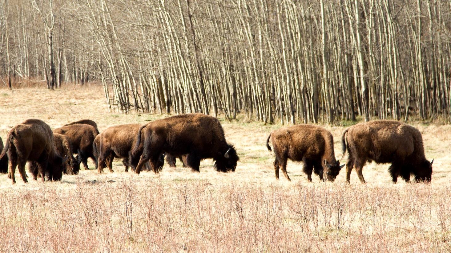 Bison at Grasslands National Park. (Willem Van Valkenburg / Flickr)