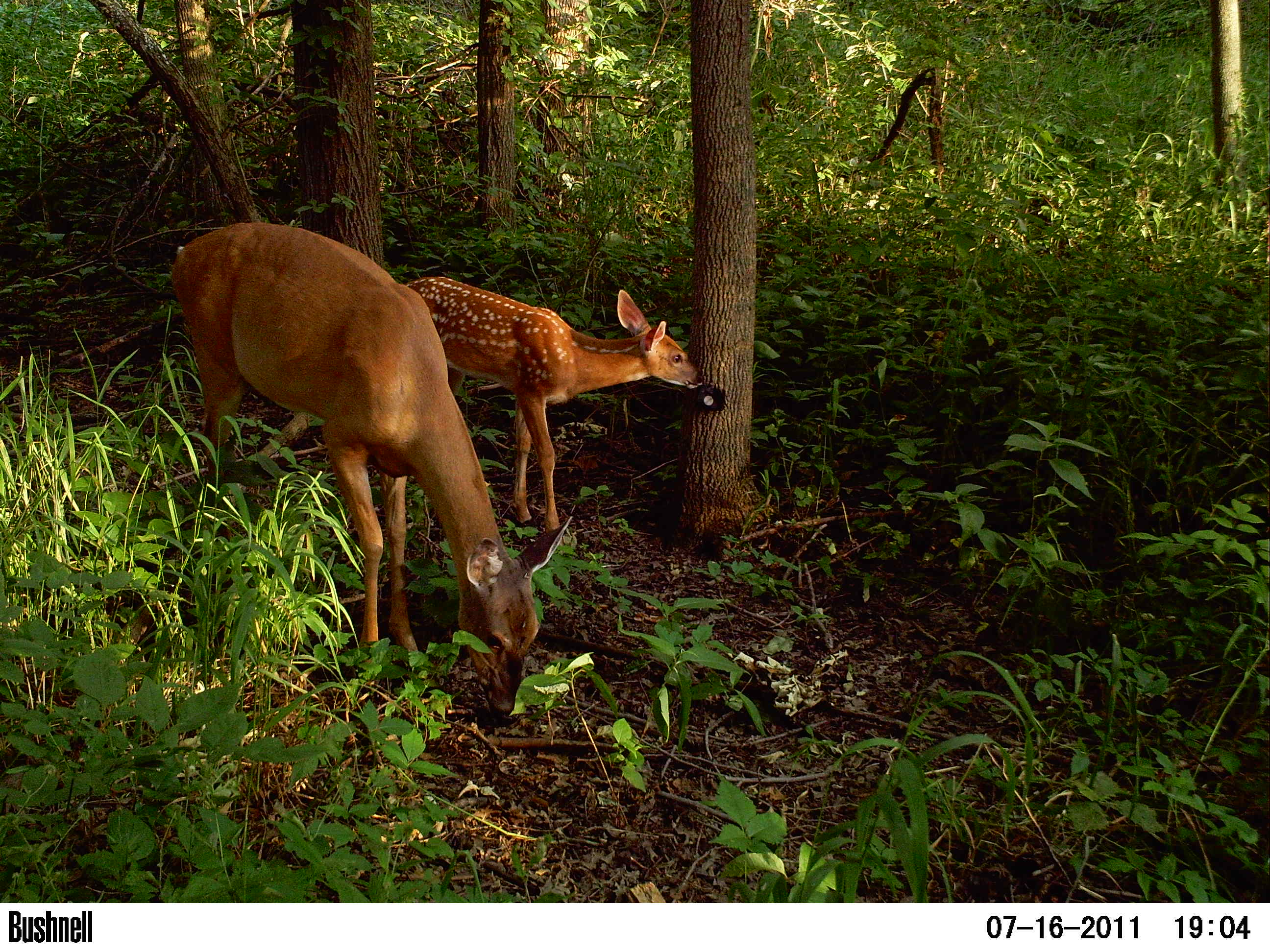 Deer get into view of a Chicago Wildlife Watch camera trap. (Courtesy of Urban Wildlife Institute/Lincoln Park Zoo)