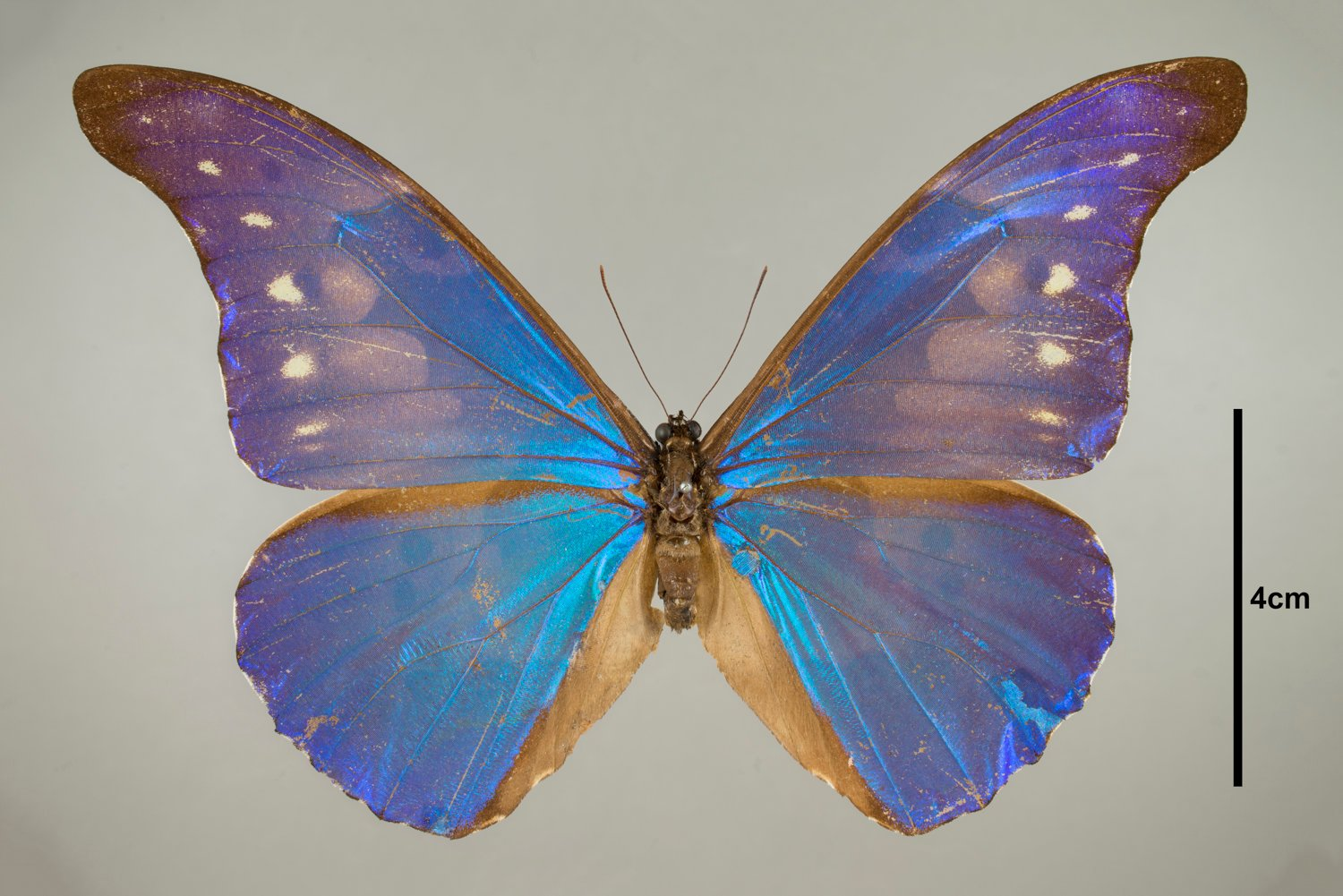 Butterfly from the Field's Insects collection (Courtesy of the Field Museum)