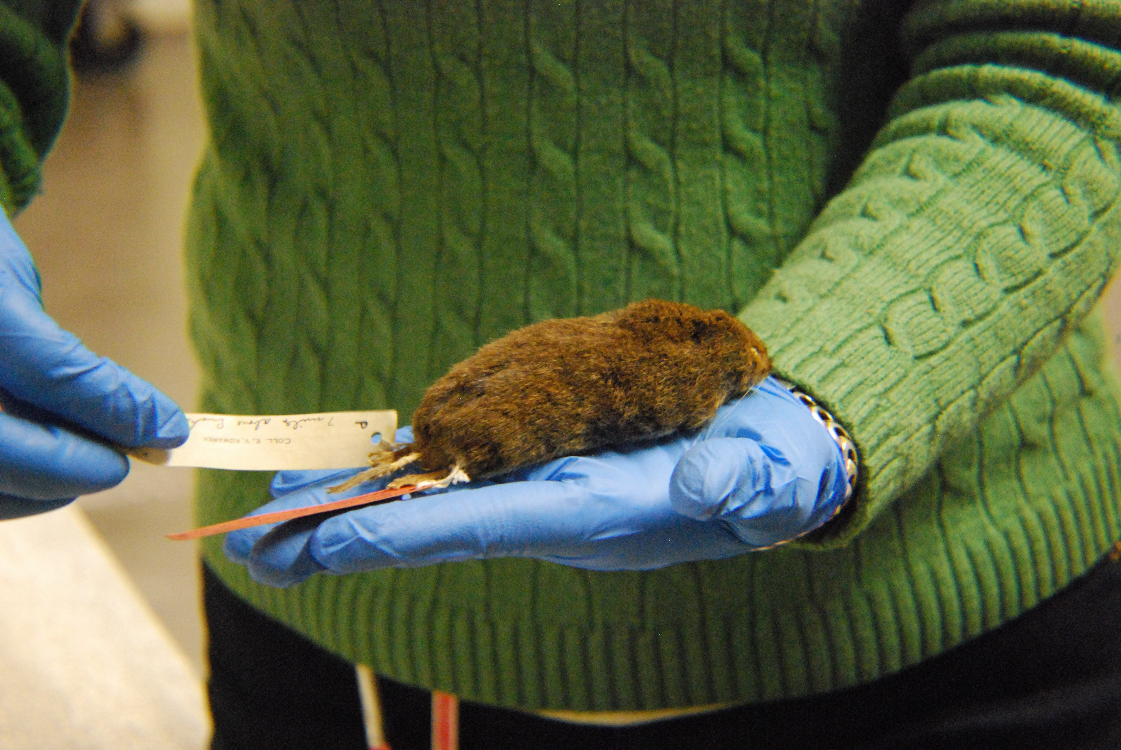 Nature Museum collections manager Dawn Roberts holds a southern rock vole. (Courtesy Peggy Notebaert Nature Museum)