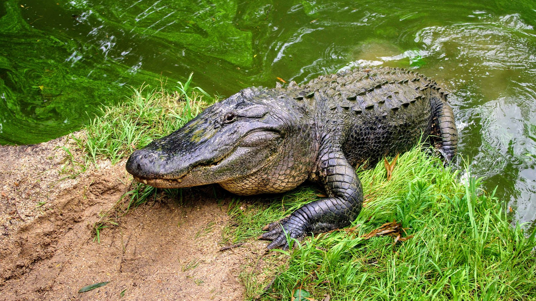 Why Alligators Don T Make Good Pets And 9 Other Fun Gator Facts Chicago News Wttw
