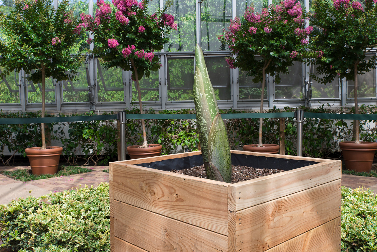 corpse flower ready to bloom at the chicago botanic garden