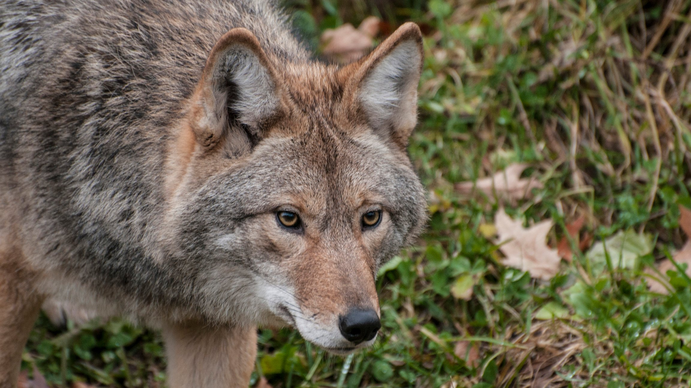 Why Are Coyotes Thriving in the Chicago Area Chicago Tonight WTTW