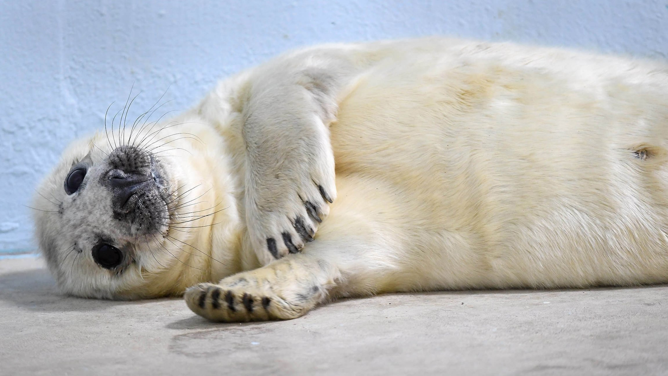 Gray Seal Pup Born At Brookfield Zoo Chicago Tonight Wttw