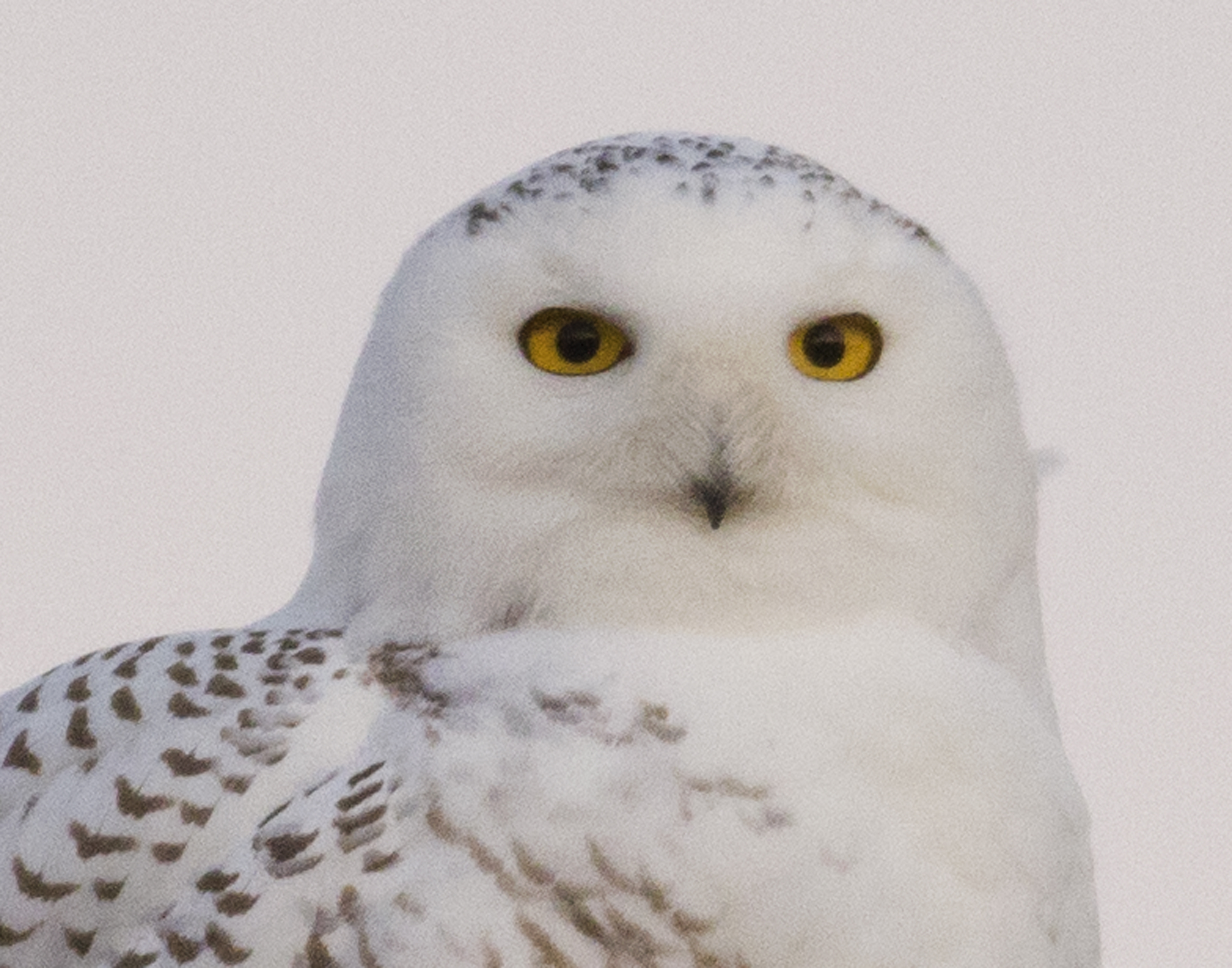 white owl chat sites White owl art print by photoinc studio find art you love and shop high-quality art prints, photographs, framed artworks and posters at artcom 100% satisfaction guaranteed.