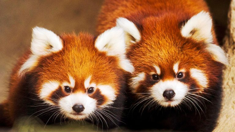North Park Lincoln >> Red Panda Cubs Leaving Lincoln Park Zoo | Chicago Tonight | WTTW