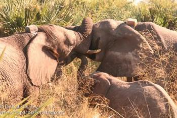 Courtesy of Elephants for Africa; click image to view photo gallery