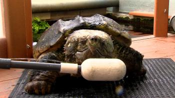 Guinness, the Alligator Snapping Turtle