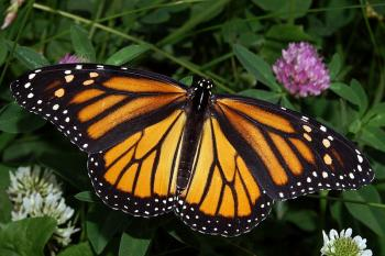 Photograph of a Monarch Butterfly by Kenneth Dwain Harrelson