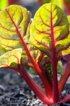 Beta vulgaris cicla (Swiss chard); image credit: Chicago Botanic Garden