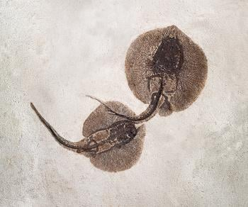 Two stingrays, believed to have been fossilized during or soon after mating