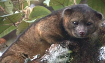 "Photograph of Bassaricyon neblina ""Olinguito"" taken in the wild at Tandayapa Bird Lodge, Ecuador; image credit: Mark Gurney"