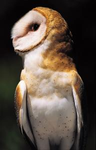 Barn Owl. Photo by Carol Freeman. Click image to view photo gallery.