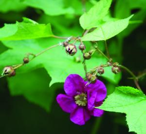 Flowering Raspberry (Rubus odoratus)