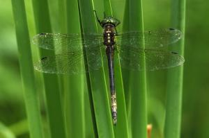 Hine's Emerald Dragonfly. Photo by Carol Freeman. Click image to view photo gallery.