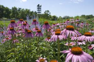Purple Coneflower (Echinacea purpurea). Image Credit: Chicago Botanic Garden