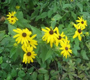 Sweet Black-Eyed Susan (Rudbeckia submentosa)