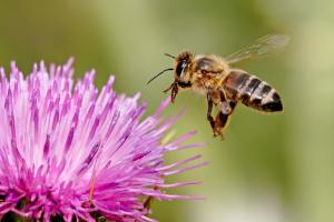 Honeybee landing on a milk thistle flower; image credit: Wikimedia Commons