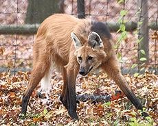 maned wolf; photo credit: wikipedia