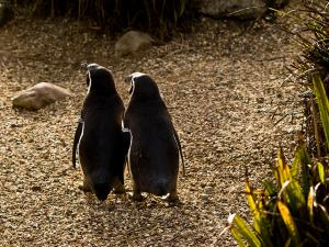 Penguins use their sense of smell to identify family members. Courtesy of William Warby via Flickr.