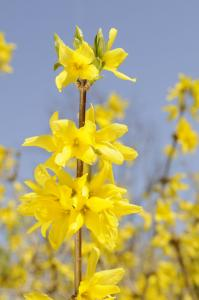 Forsythia ovata. Courtesy Chicago Botanic Garden. Click image to view photo gallery.