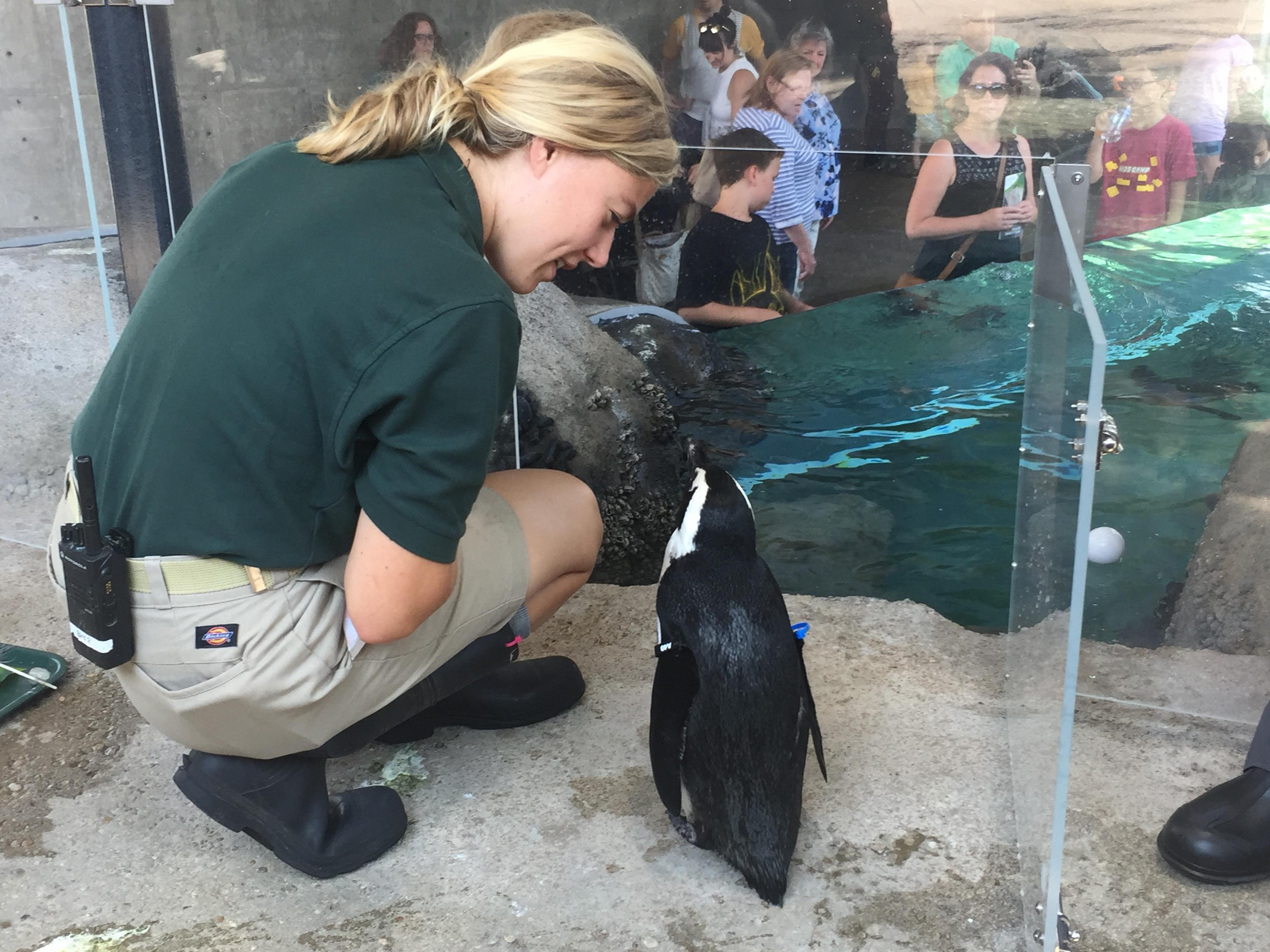 Lincoln Park Zoo Animal Keeper Brianna Larson guides male penguin Erik back into the penguin cove. (Alex Ruppenthal / Chicago Tonight)