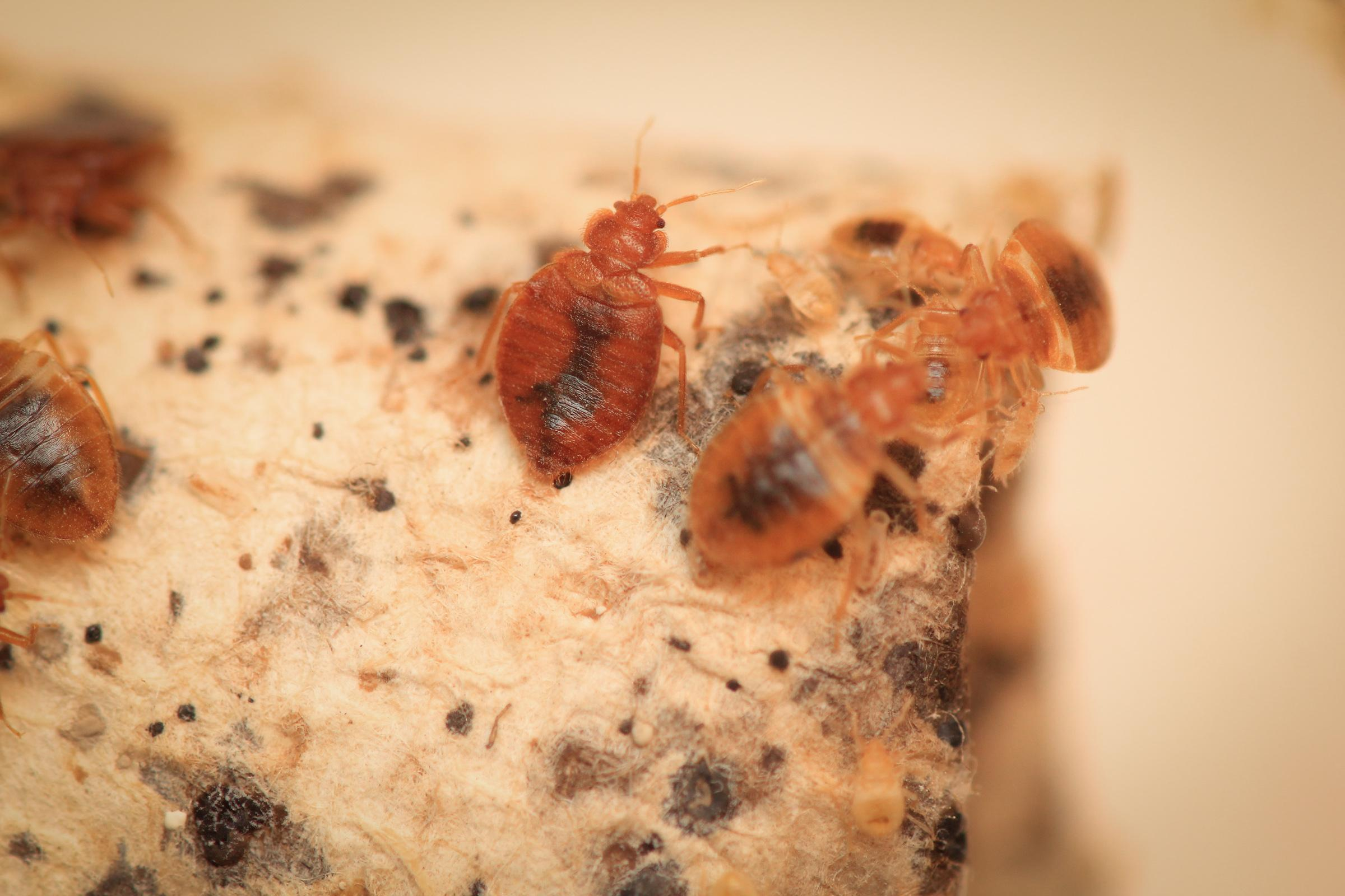 White Powder For Bed Bugs