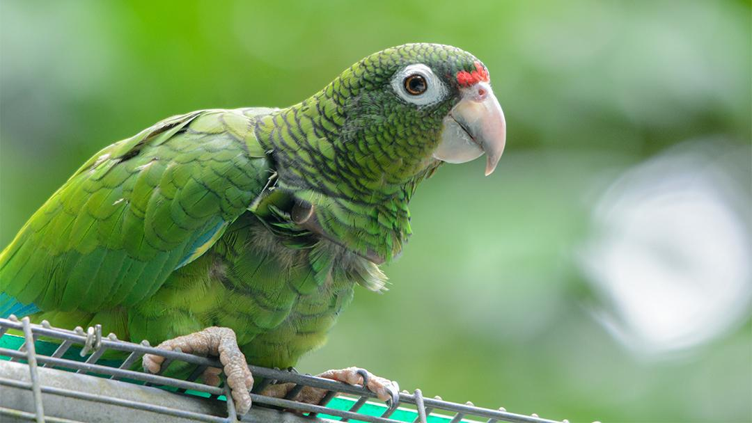 A Puerto Rican parrot (Tanya Martinez / Puerto Rico Department of Natural and Environmental Resources)