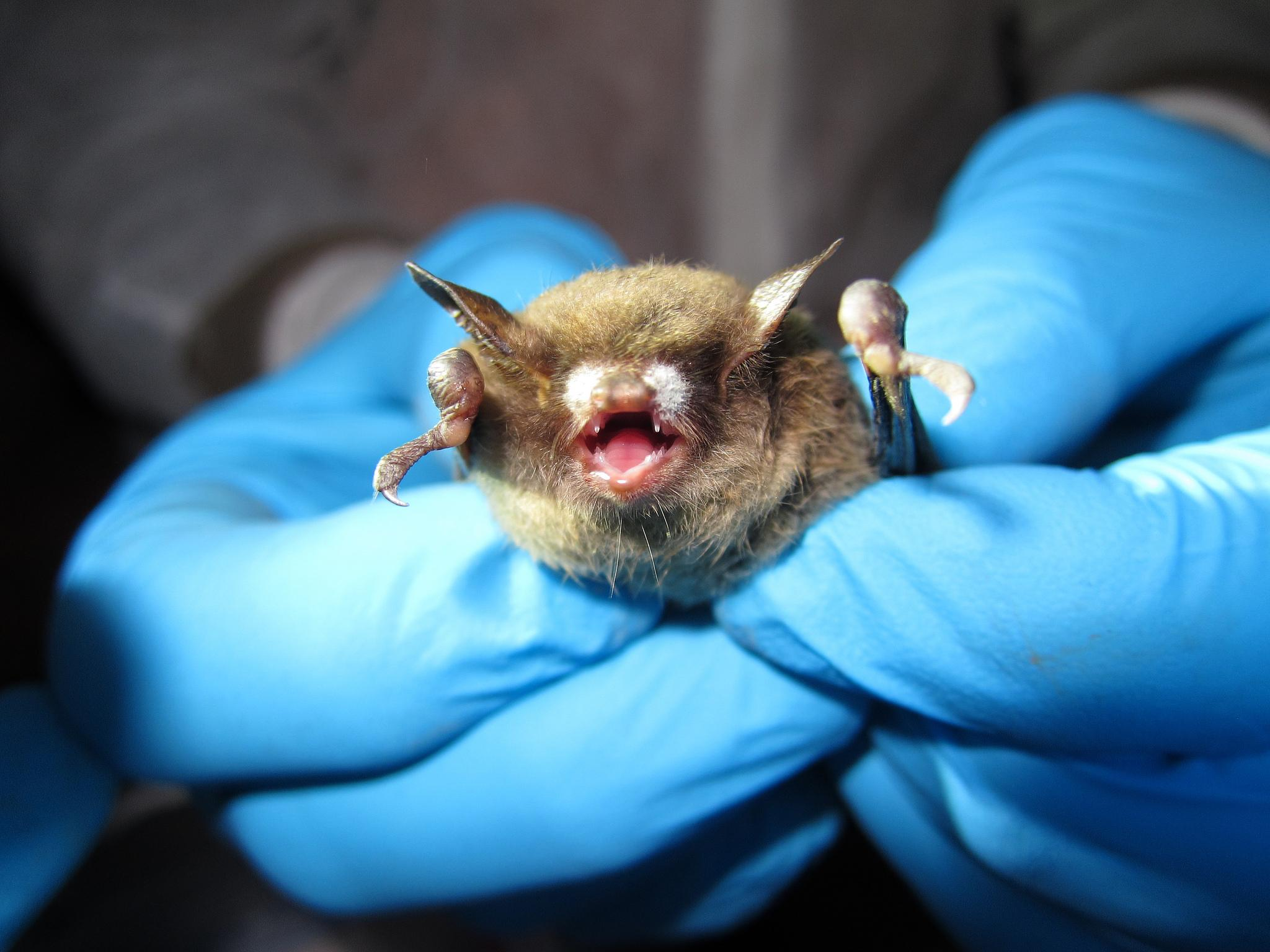 The origin of White-Nose Syndrome in Little Brown Bats Essay