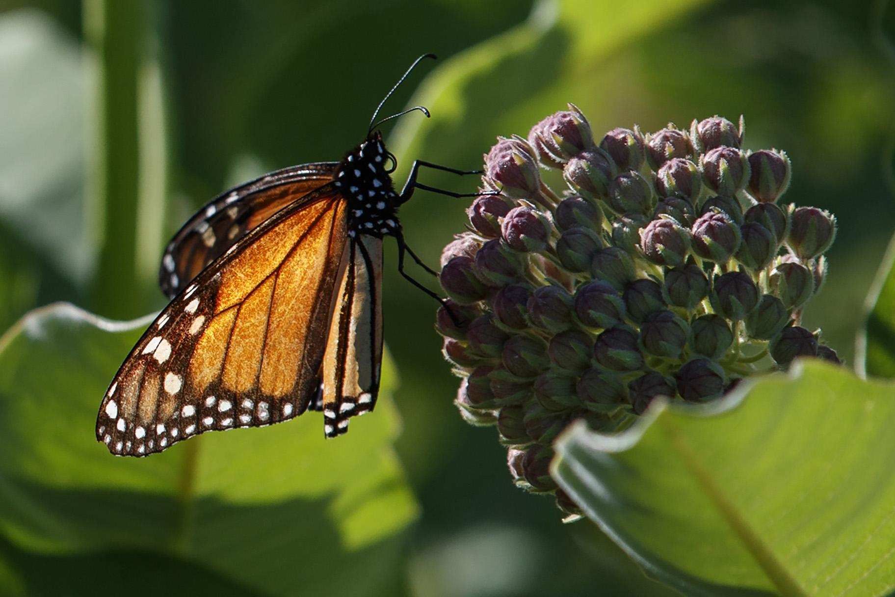 A monarch butterfly perches on milkweed at the Patuxent Wildlife Research Center in Laurel, Maryland on Friday, May 31, 2019. Farming and other human development have eradicated state-size swaths of its native milkweed habitat, cutting the butterfly's numbers by 90% over the last two decades. (AP Photo / Carolyn Kaster)